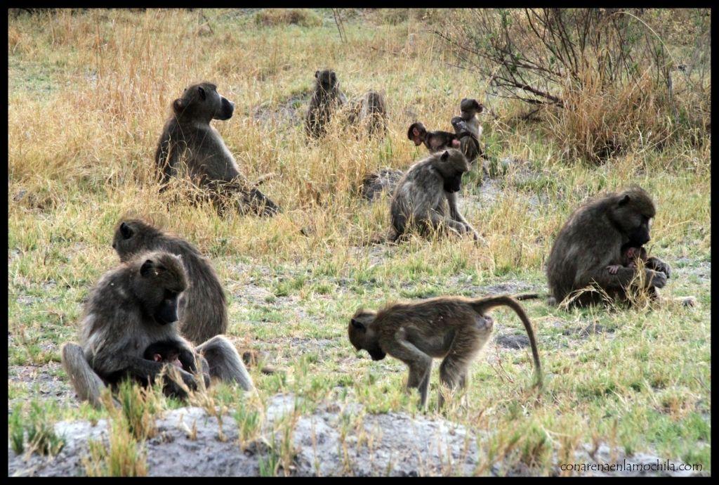 Babuinos Moremi Botswana
