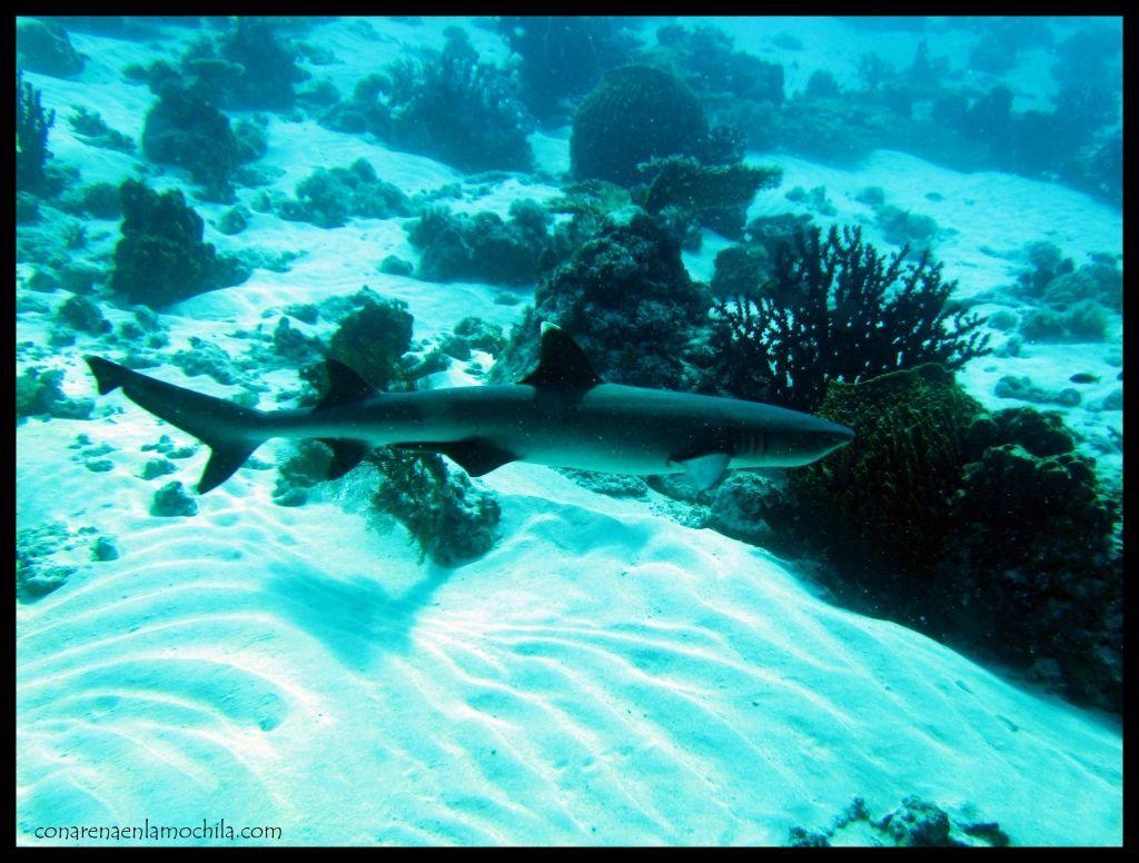 Tiburón punta blanca The Cauldron Komodo