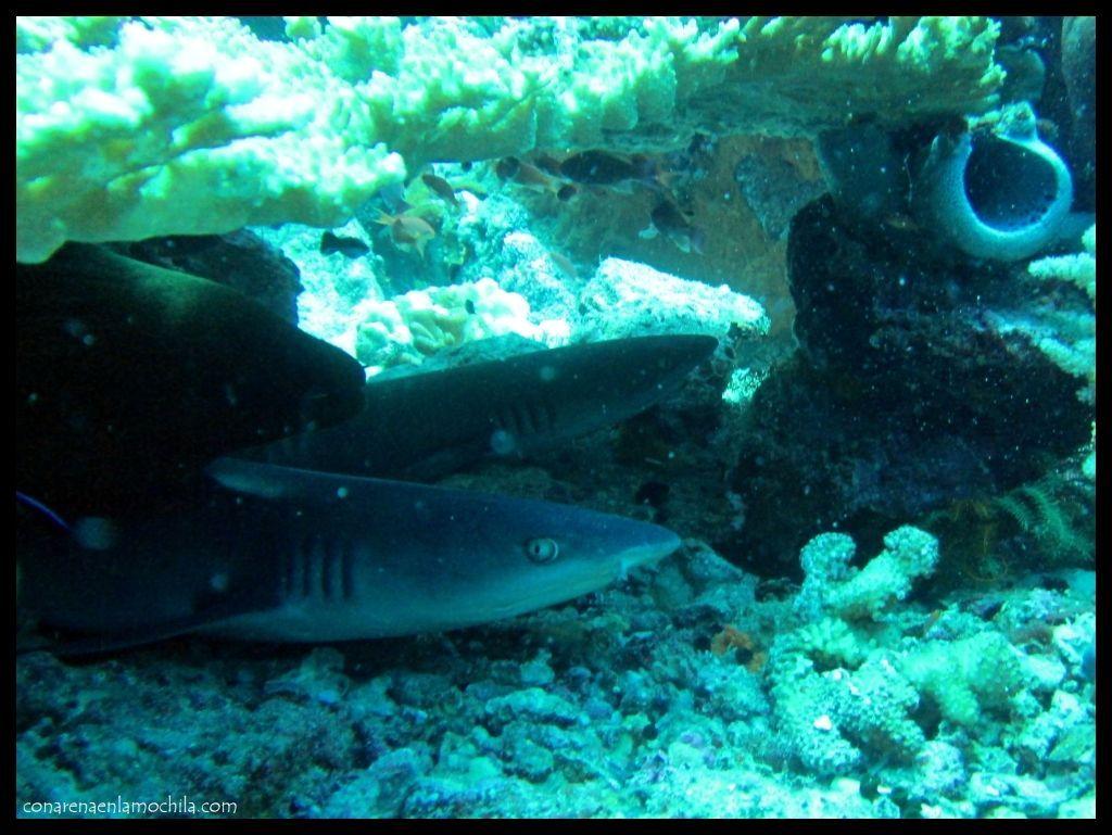 Baby Shark Crystal Rock Komodo
