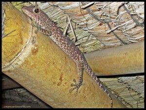 Gecko Gili Trawangan Lombok Indonesia