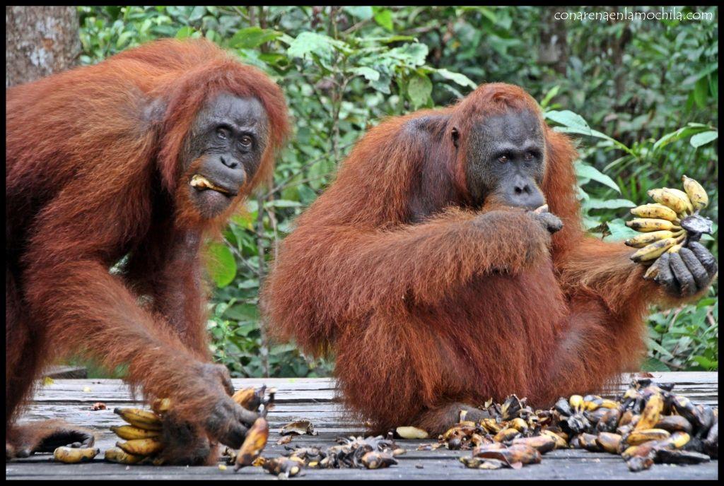 Orangutanes Pondok Tanggui