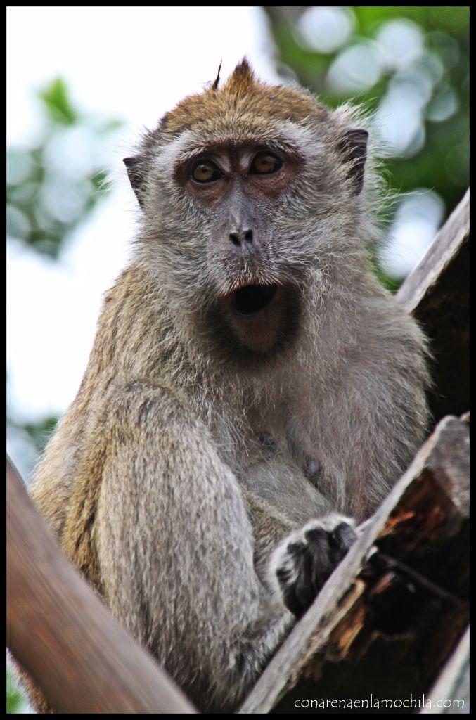Macaco Tanjung Puting