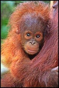 Orangután cría Camp Leakey