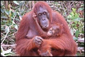 Orangután y cría Camp Leakey