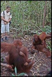 Orangutanes Camp Leakey
