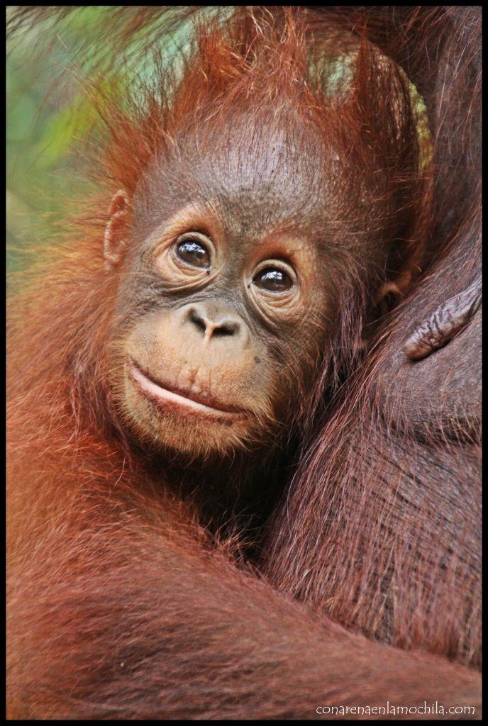 Cría Orangután Camp Leakey
