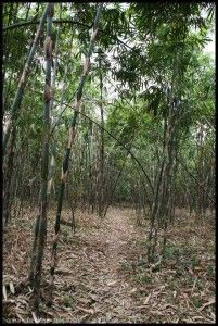 Bamboo forest Bali