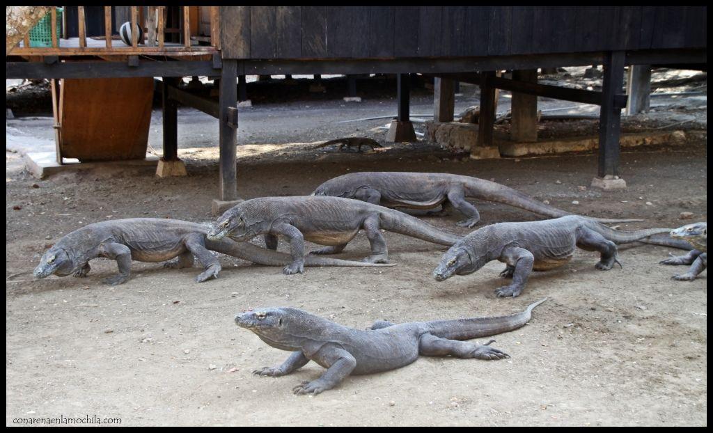 Dragones Komodo Rinca