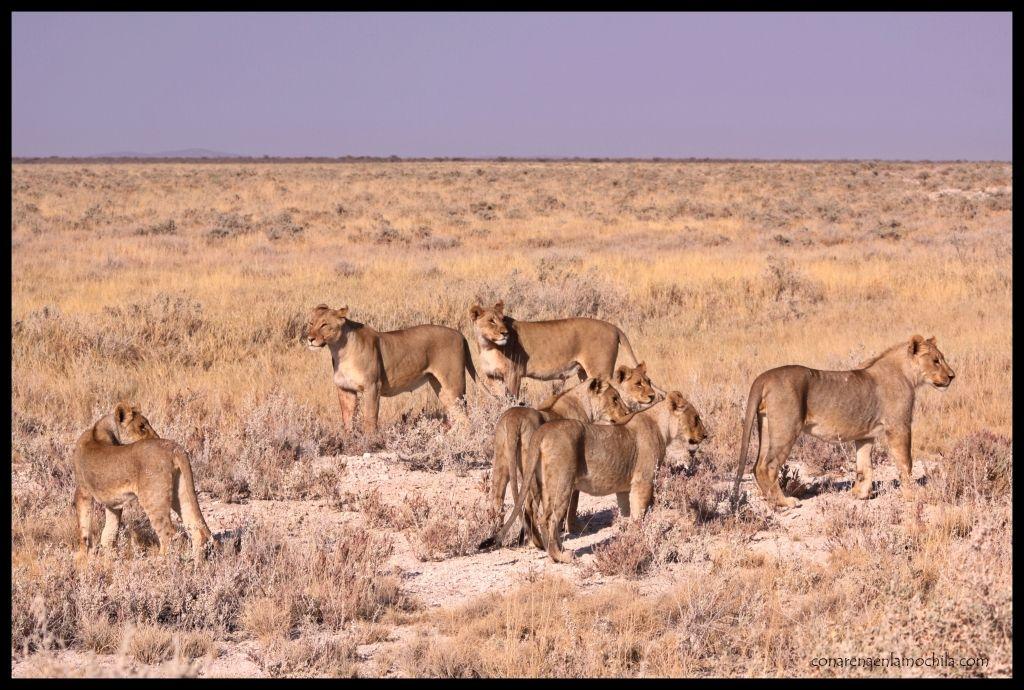 Manada leonas