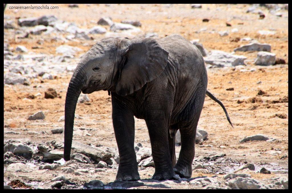 Elefante cría
