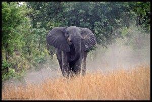 Elefante Caprivi Namibia