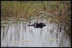 Hipopótamo Caprivi
