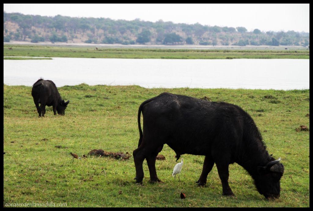 Búfalos Chobe Botswana