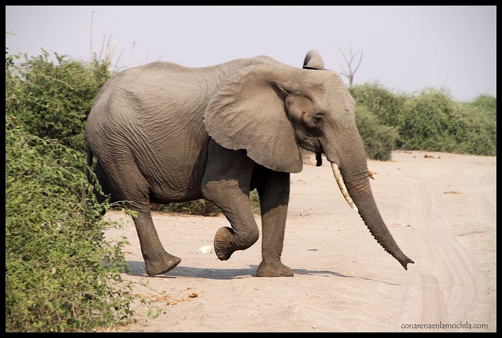Elefante Chobe