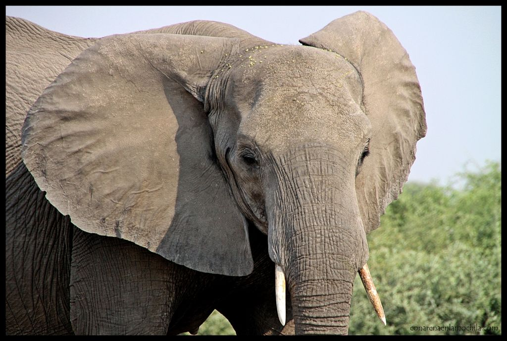 Elefante Chobe 2