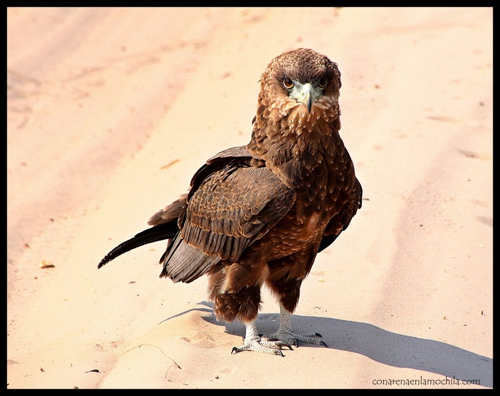 Äguila Savuti