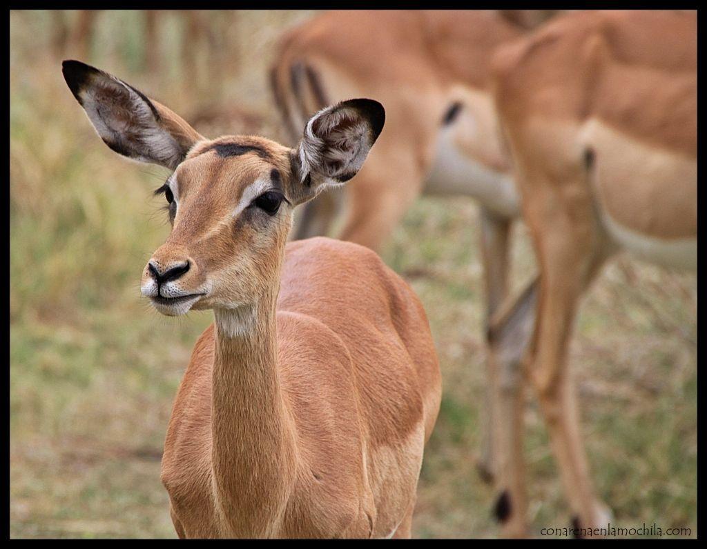 Impalas Moremi