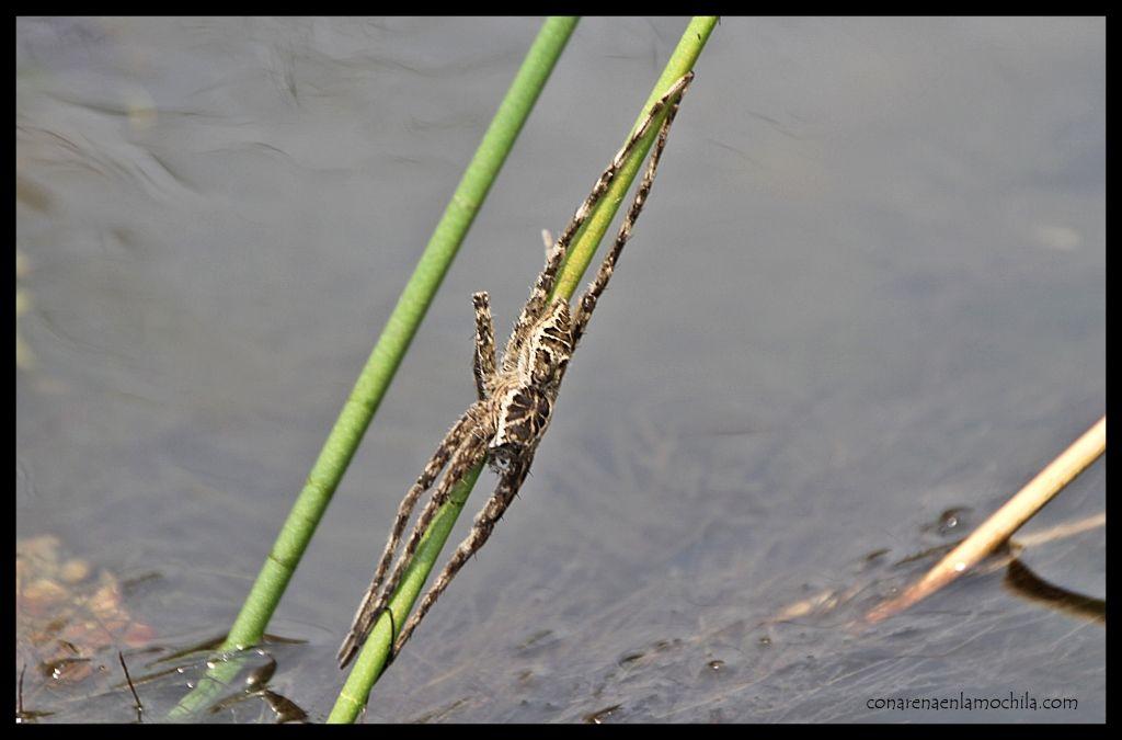 Araña Delta Okavango