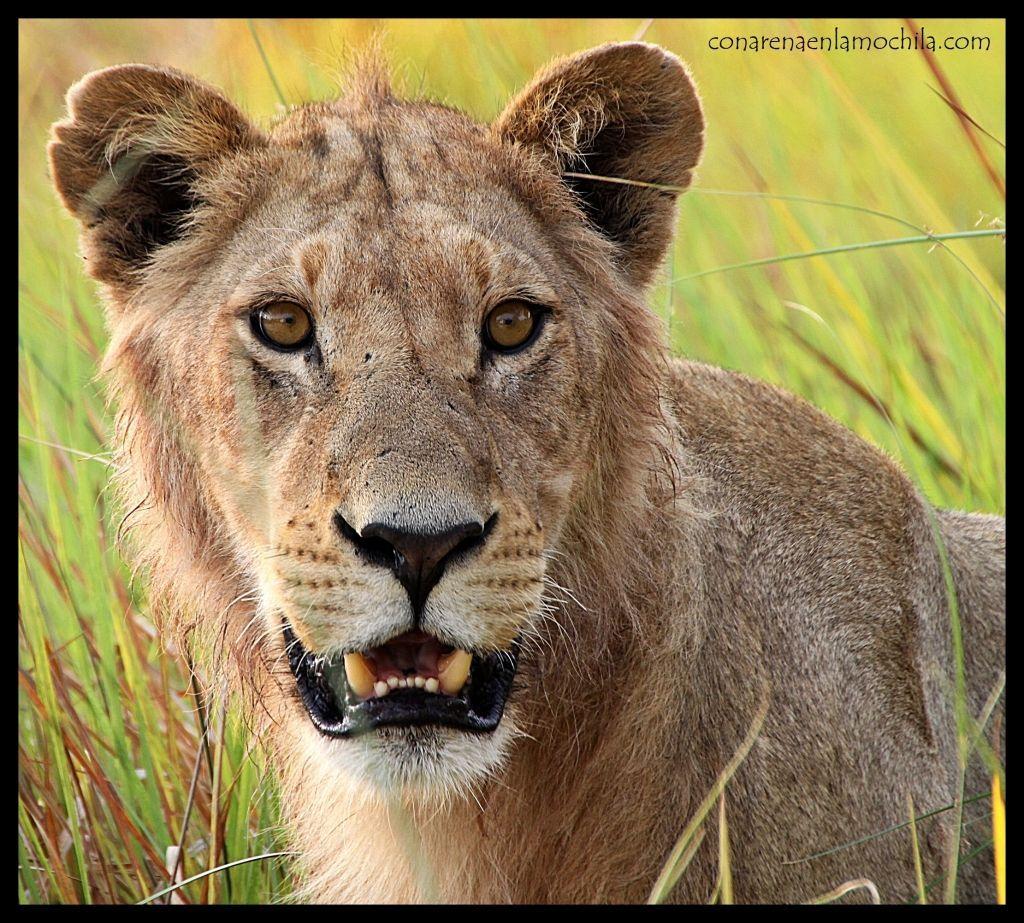 León joven Moremi