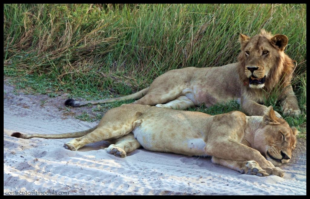 Leones Moremi Botswana