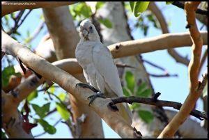 Angbangbang Kakadu - Australia