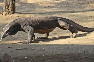 Dragón Komodo Rinca Indonesia
