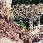 Porto Jofre: En busca del jaguar del Pantanal