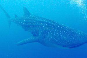 Maldives Blue Force Maldivas