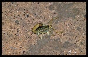 Escorpión Botswana
