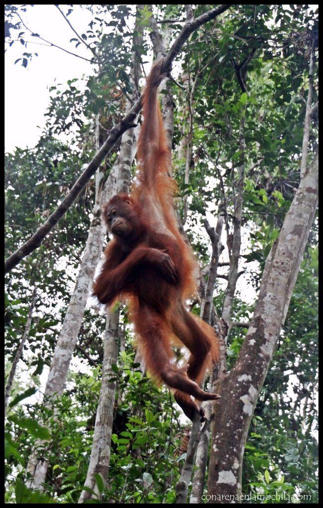 Orangután Tanjung Harapan