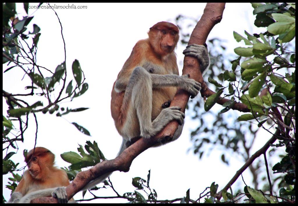 Proboscis Tanjung Puting