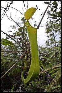 Planta carnívora Borneo