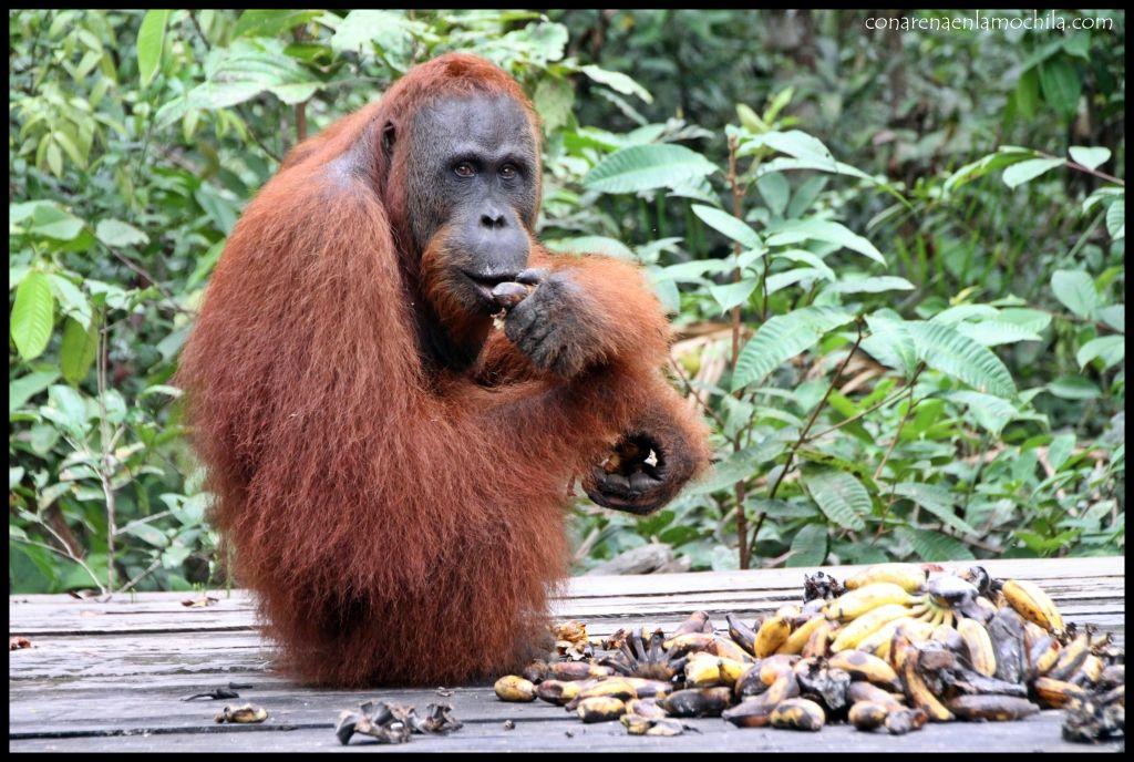 Orangután Pondok Tanggui