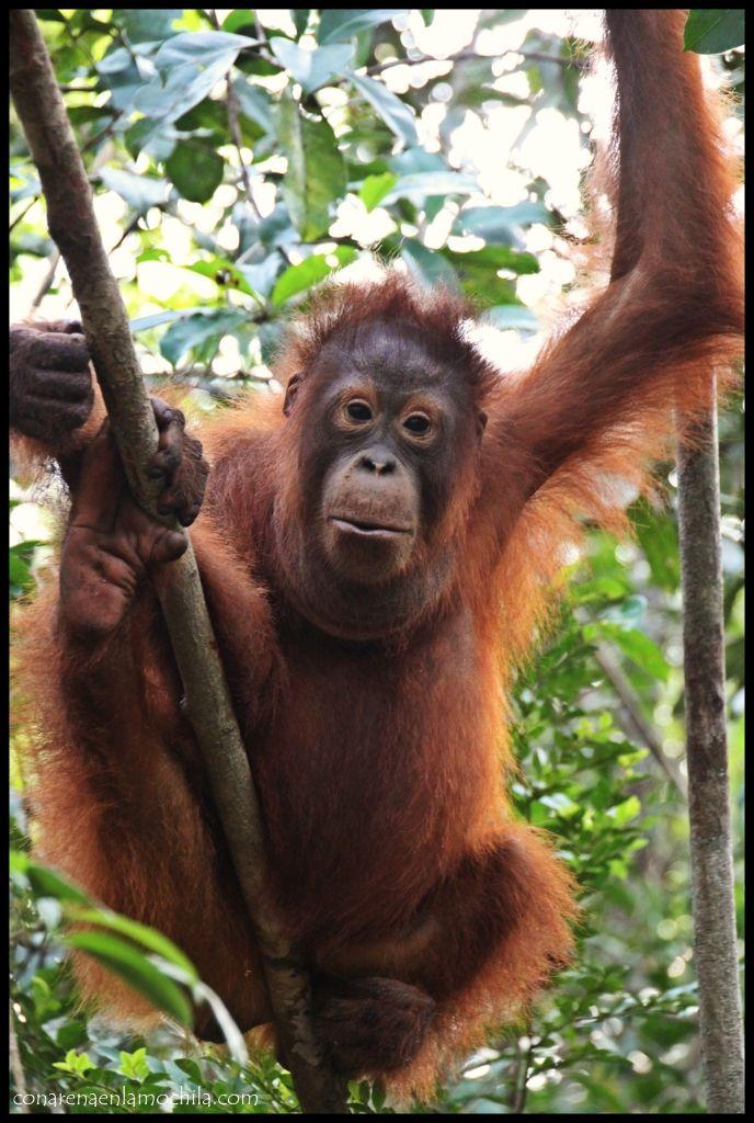 Orangután Camp Leakey