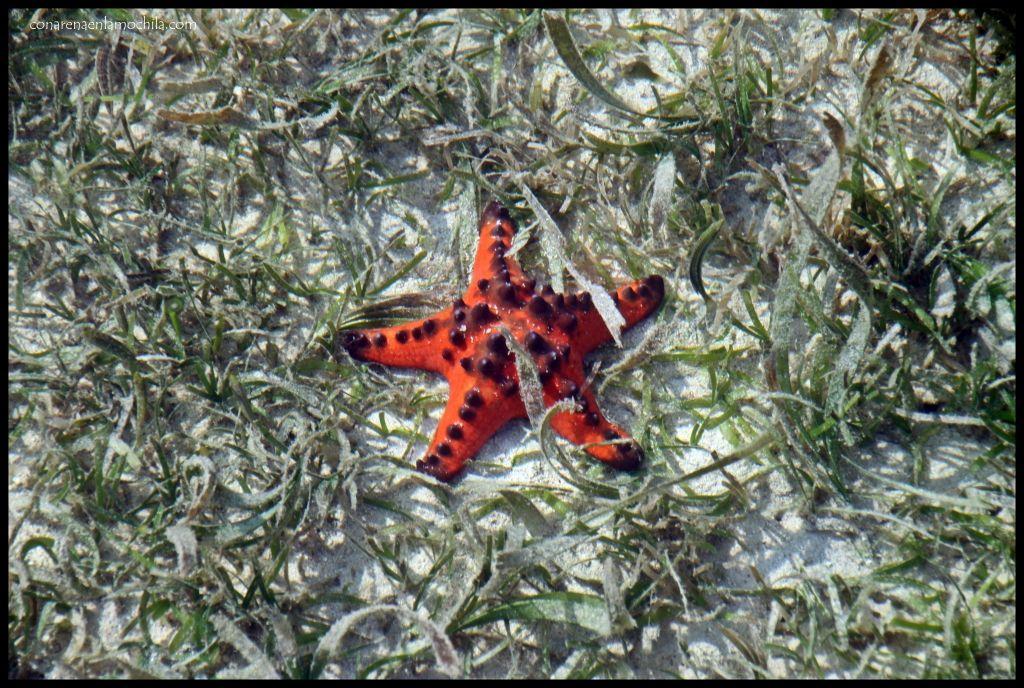 Estrella de mar Kanawa Flores