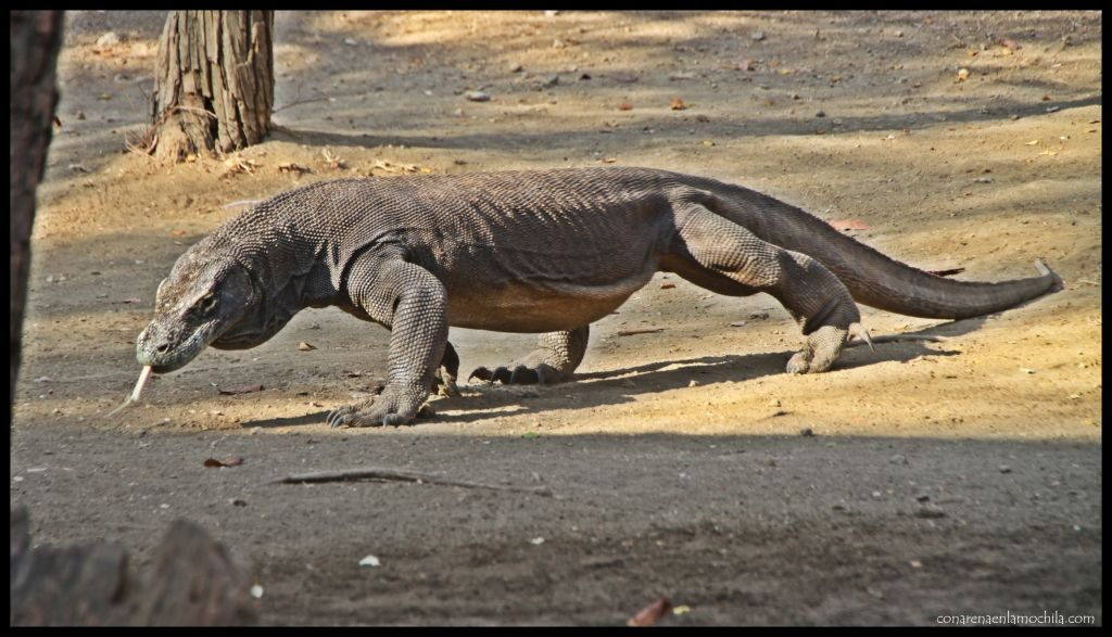 Dragón Komodo Rinca