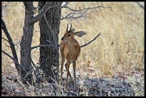 Pequeño impala