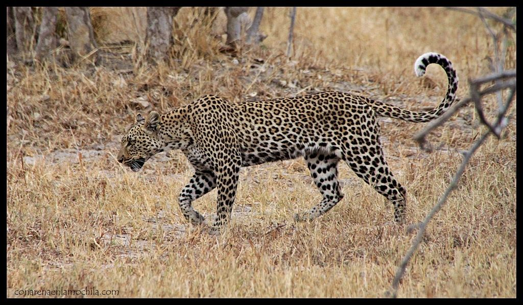 Leopardo Savuti