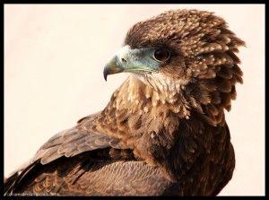 Águila Savuti Botswana
