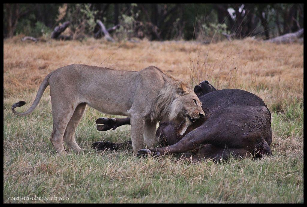 León comiendo Moremi