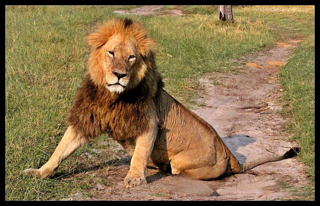 León macho Moremi