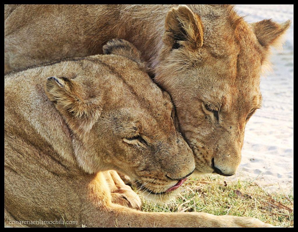 Pareja leones Moremi
