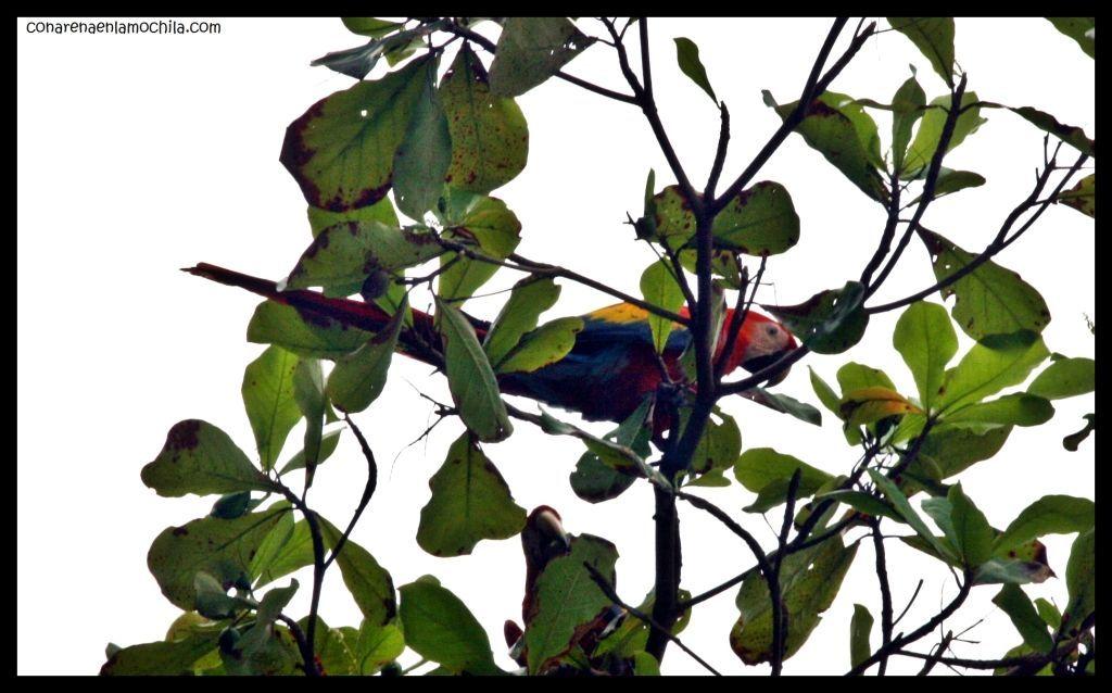Guacamayo Corcovado Costa Rica