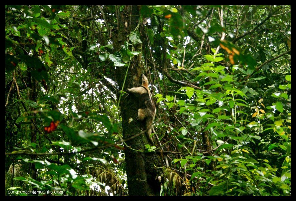 Oso hormiguero Corcovado Costa Rica