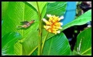 Colibrí Sirena Corcovado Costa Rica