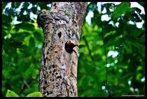 Pájaro carpintero Corcovado Costa Rica