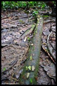 Hormigas cortadoras Corcovado Costa Rica