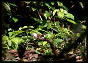 Mariposa Corcovado Costa Rica