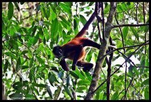Mono araña Corcovado Costa Rica