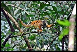 Mono ardilla Corcovado Costa Rica